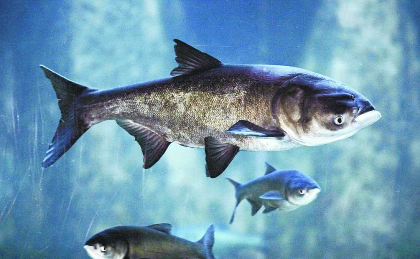 Who Will Speak For theCarp?